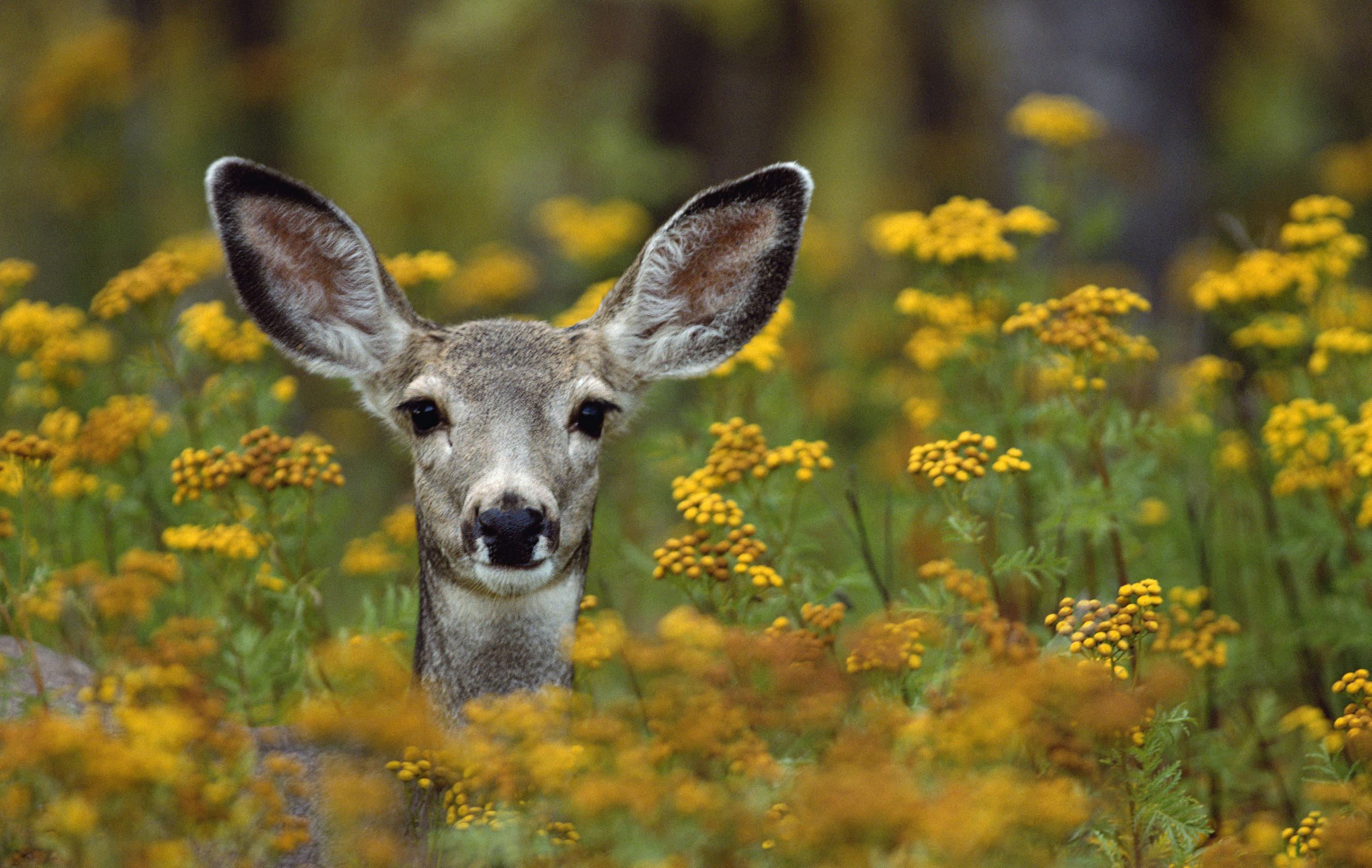 Mule Deer Doe in Flowers - Grand Teton
